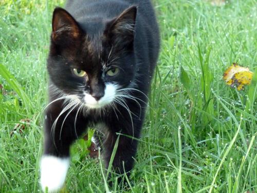 Schwarze Katze von vorne