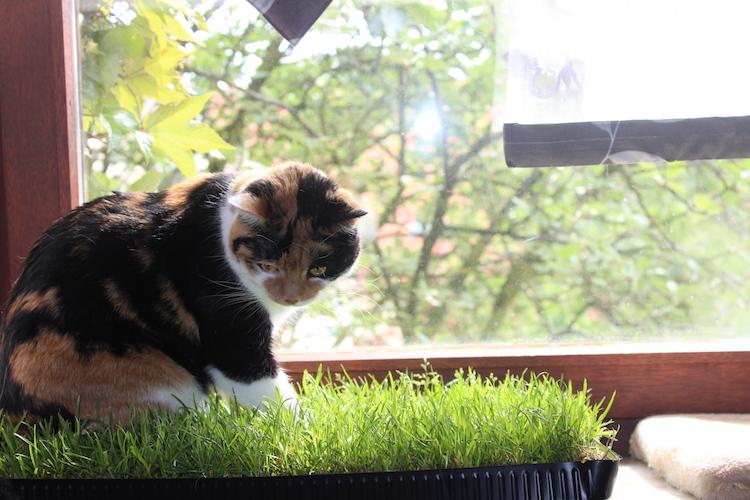 Katzengras mit Katze