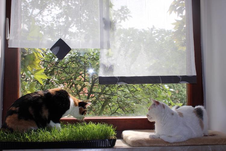 Miau-Katzengras