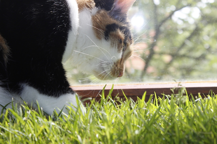 Katzengras fressen