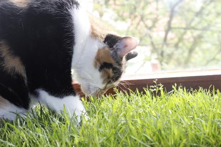 Katzengras kaufen