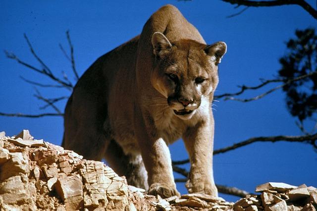 cougar-718092_640