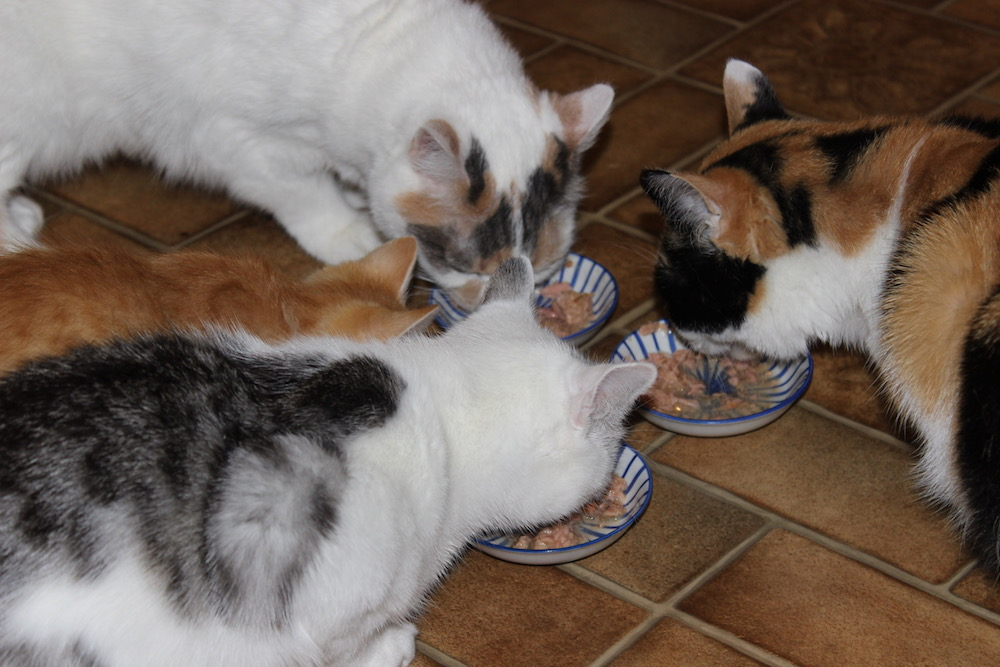 Katzen beim Fressen von Skipjack-Snack