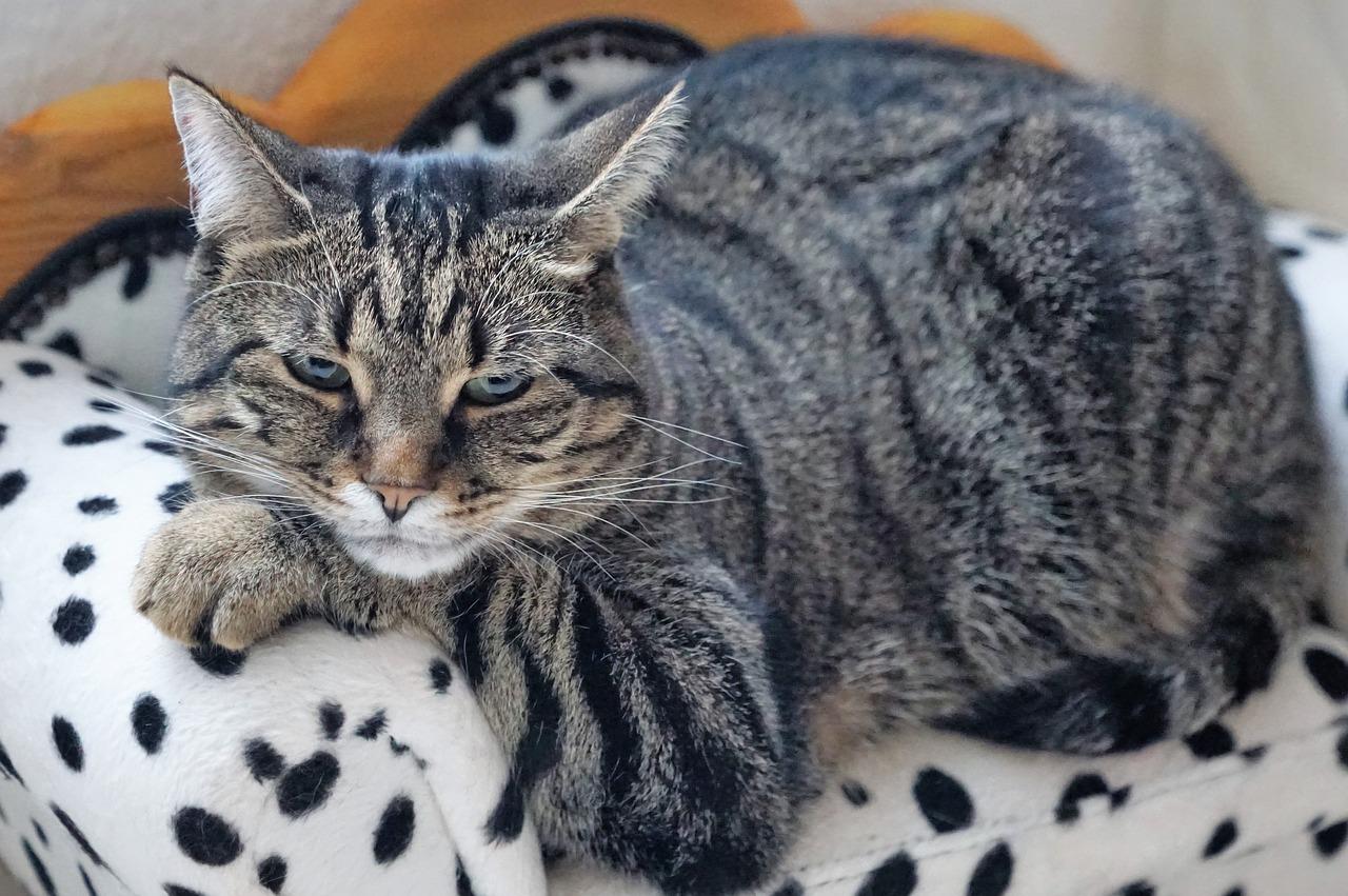 Katze auf Couch Strahlentherapie Arthrose