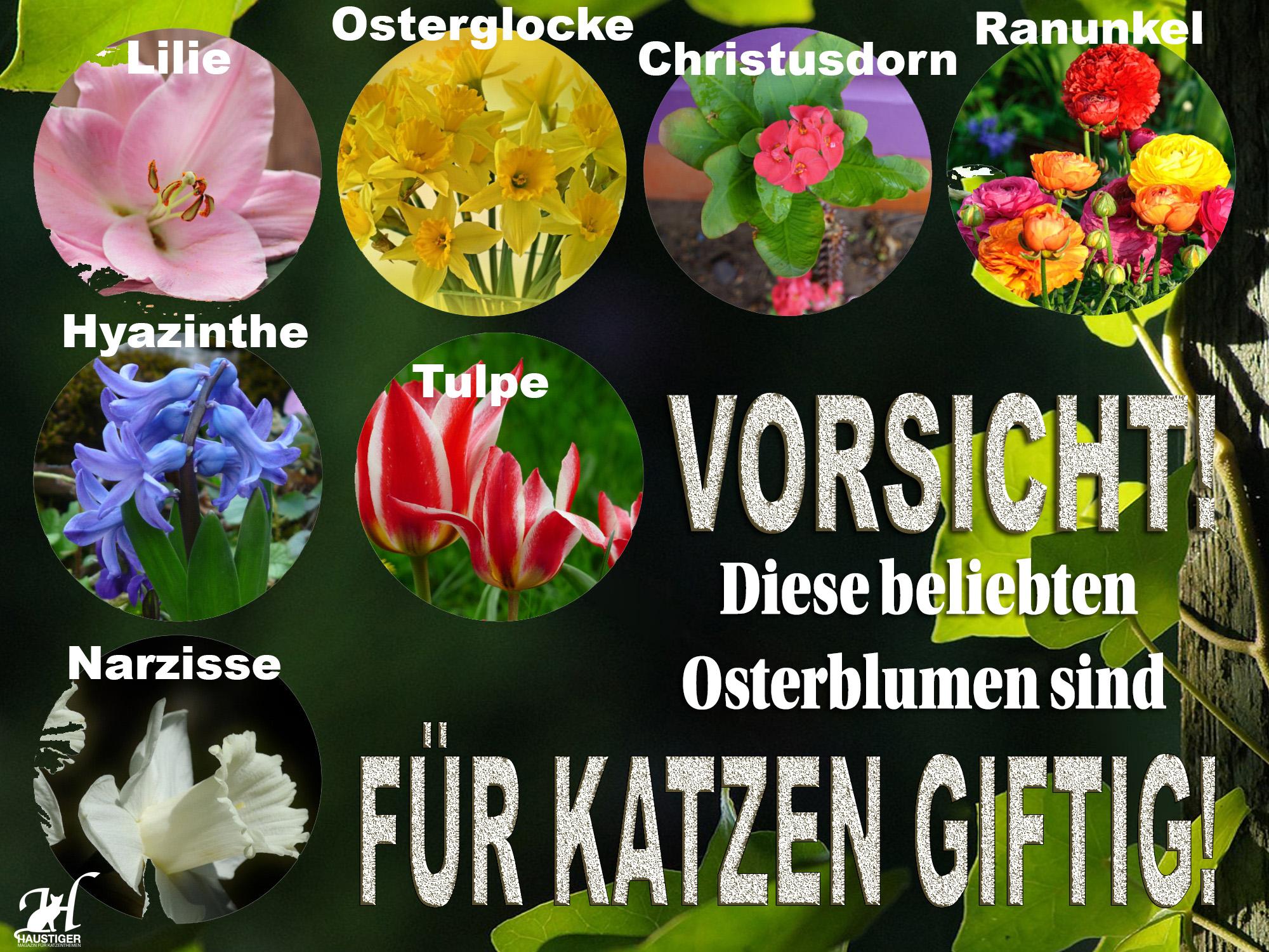 Achtung: Diese beliebten Osterpflanzen sind für Katzen giftig ...