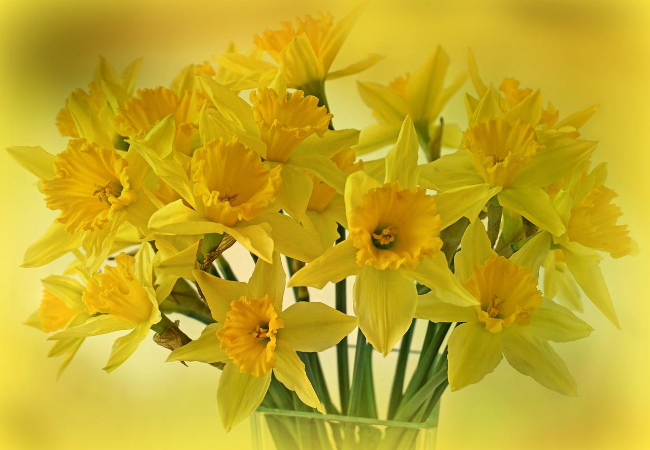 Osterglocken Gelbe Narzissen Sind Für Katzen Giftig